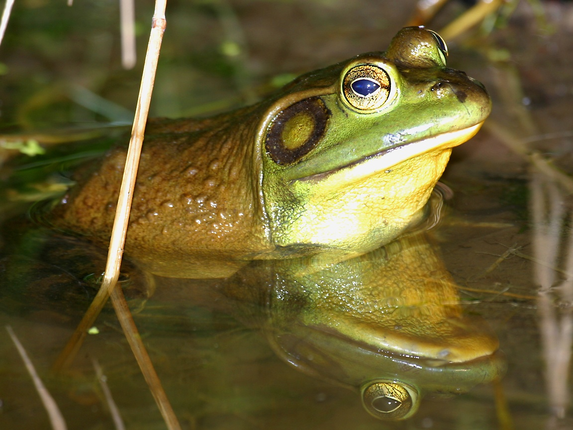 The Gross And Disgusting Bullfrog