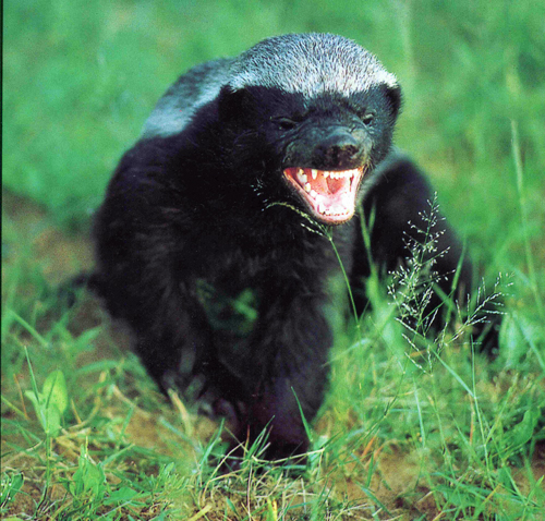 Honey Badger Don't Give A Shit!