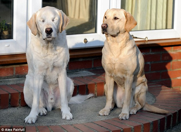 Blinded Seeing Eye Dog Gets Seeing Eye Dog