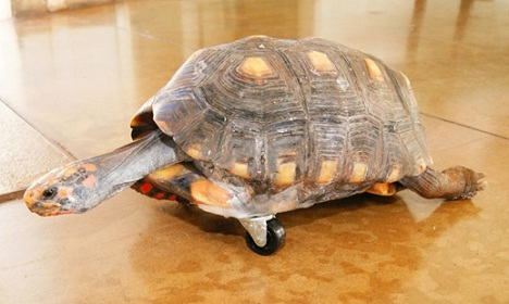 Three Legged Tortoise Gets a Wheel