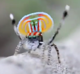 Meet the Gayest Spider Ever