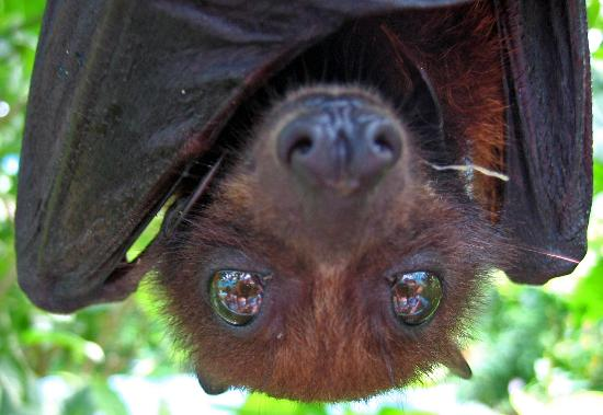 Fruit Bat BJ's Make the Loving Last Longer