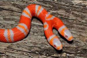 two-headed snake, diphallic, double dick dude