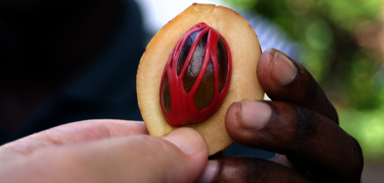 nutmeg, drug of the week, smoke, hallucinatory effect, medical risk