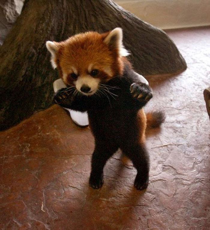red panda, cute, furry, animal, extinct, wild, dog, raccoon