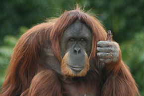 orangutang, monkey, gay blog, thumbs up, bisexual, smile