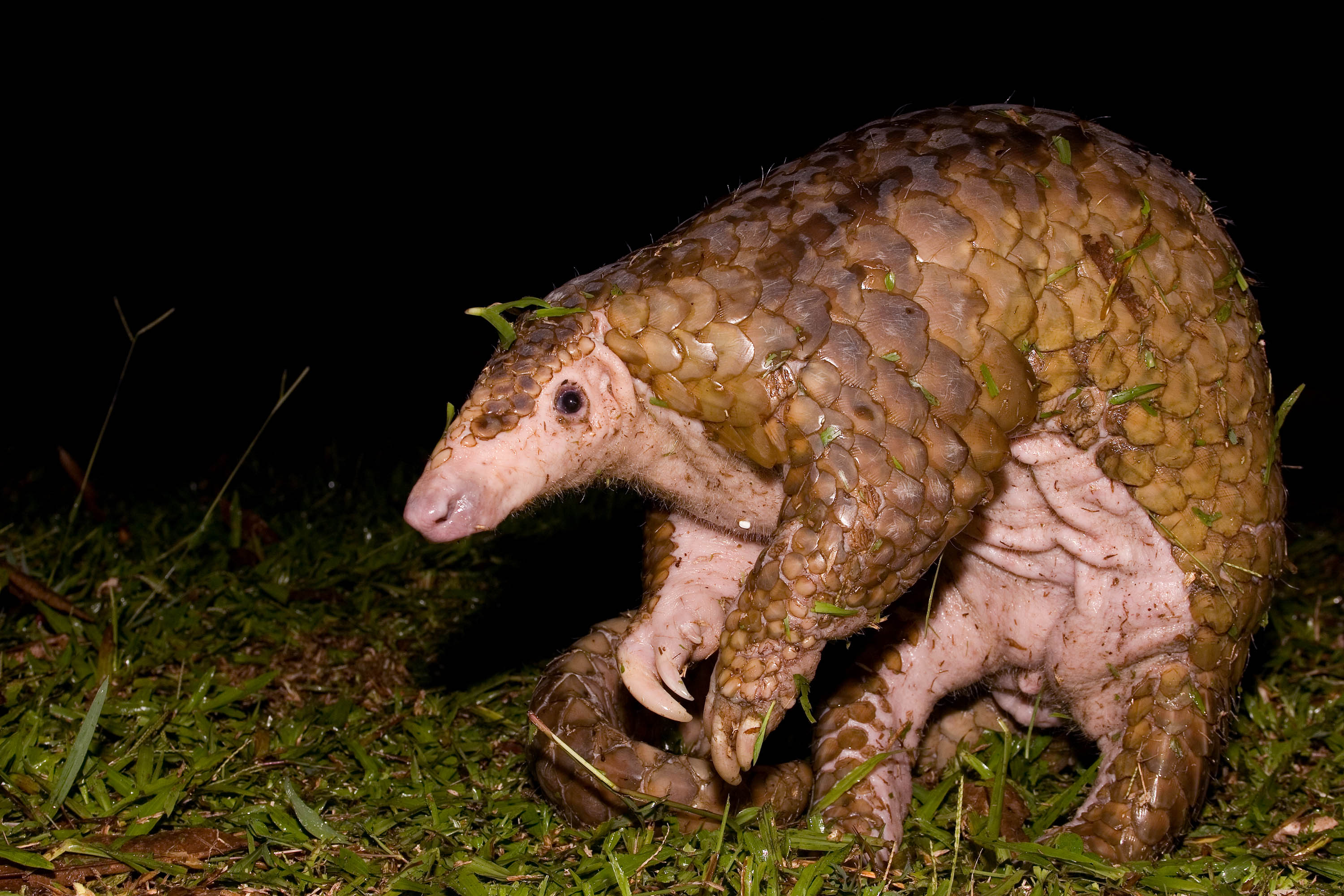 pangolin, endangered, adorable, critically endangered
