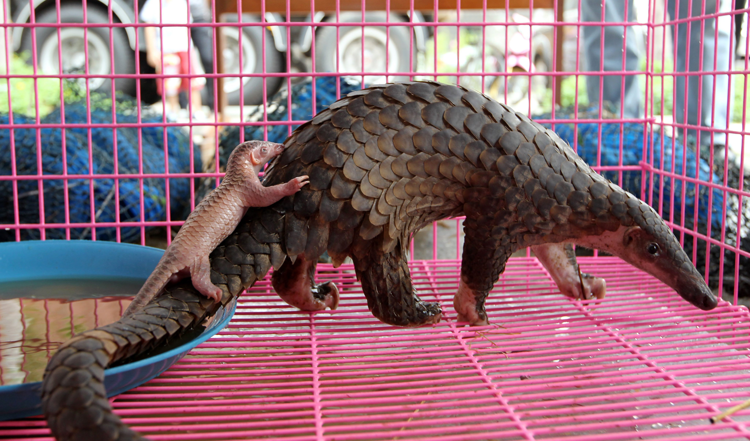 gay blog: A newborn  baby pangolin with its mother