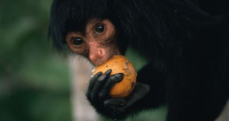 Black Spider Monkey, endangered, Animals