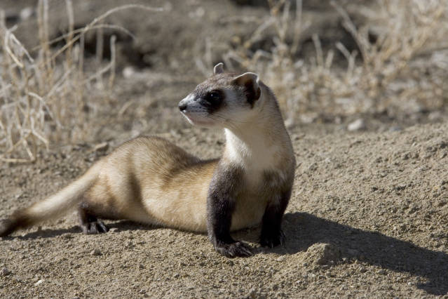 Black-Footed Ferrets, Weasels, Endangered