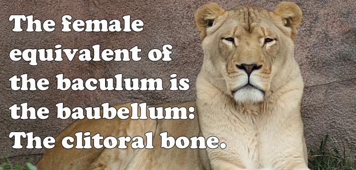 lion, clitoris, baculum, baubellum