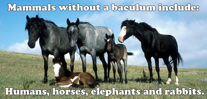 horses, baculum, penis bone, humans