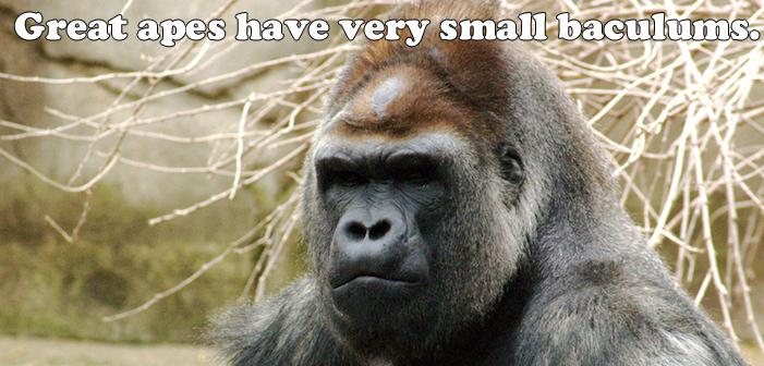 gorilla, baculum, penis bone, strange facts
