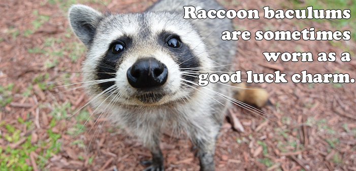 raccoon, baculum, penis bone, coon dong, coon dick
