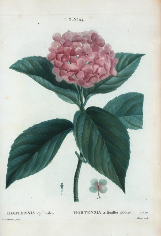Hortensia, from the collection of French flowers