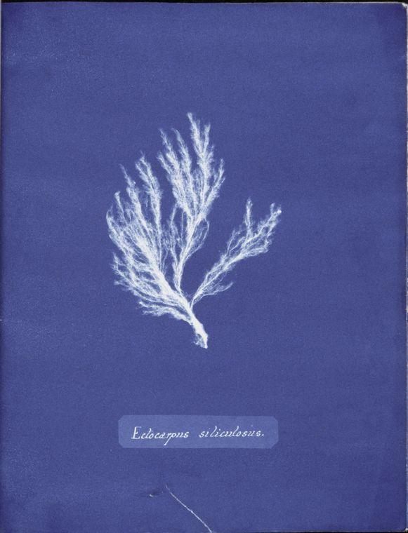 British algae cyanotypes