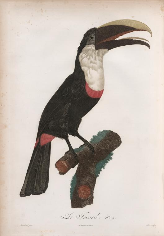 NYPL tropical bird illustrations