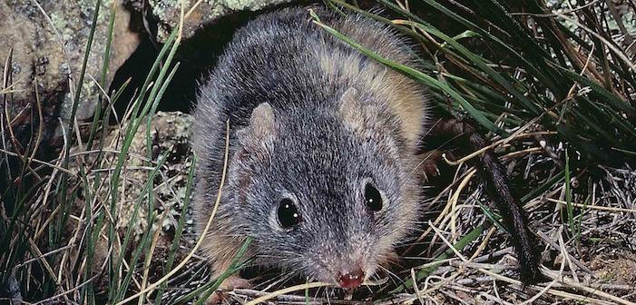 Смерть от оргазма или безумные оргии мышей из Тасмании