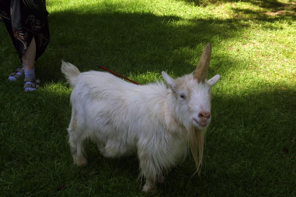 unicorn, goat, unicorn goat, real unicorns