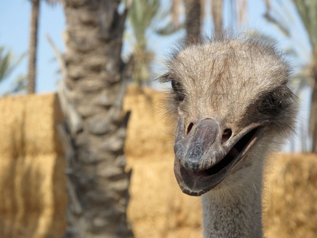 Sea of Galilee, Israel, ostrich