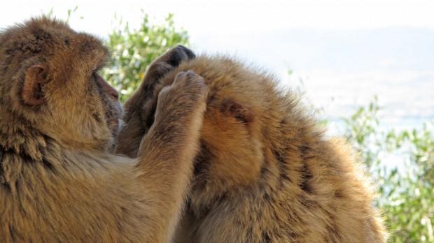 Gibraltar, spain, monkeys