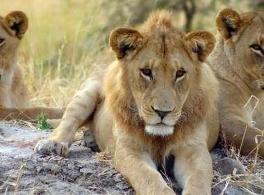 lion orgy