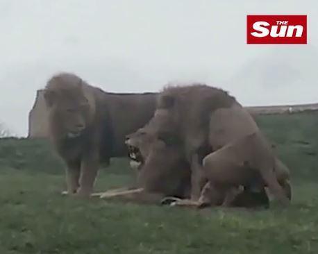 lion orgy 2
