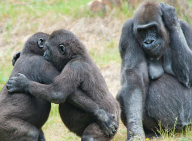 gay gorillas 01, animal homosexuality 01