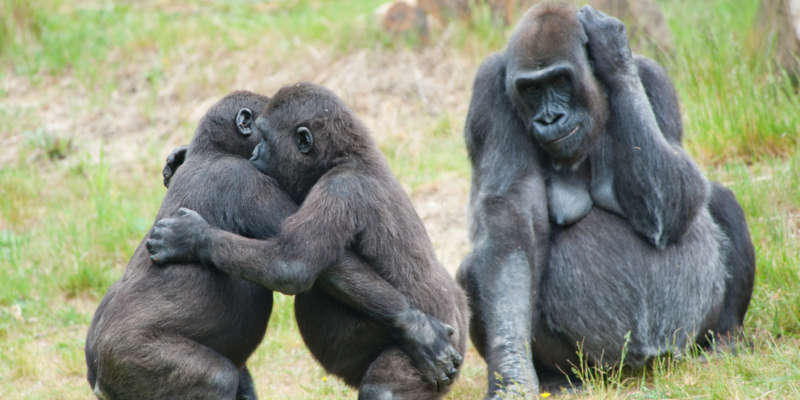 gay gorillas 01, animal homosexuality 01 scott lively governor
