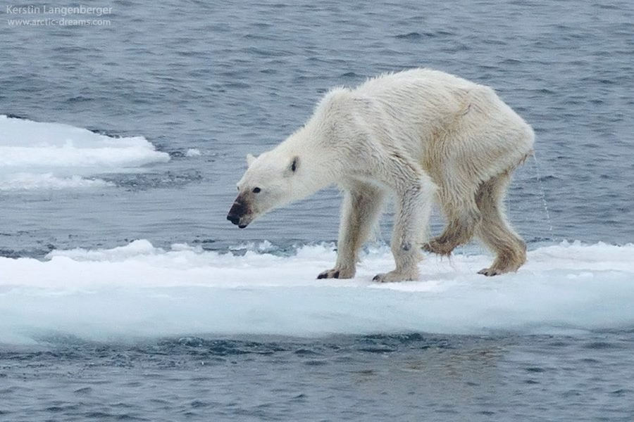 taylor swift polar bear